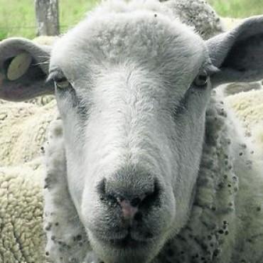 Desarrollan una nueva raza de oveja que da más carne