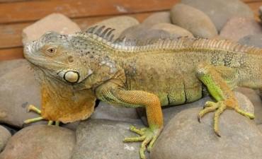 Autorizan en Santiago la matanza de iguanas para la venta de cueros