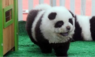 Cerraron un circo que disfrazaba perros Chow Chow de osos panda